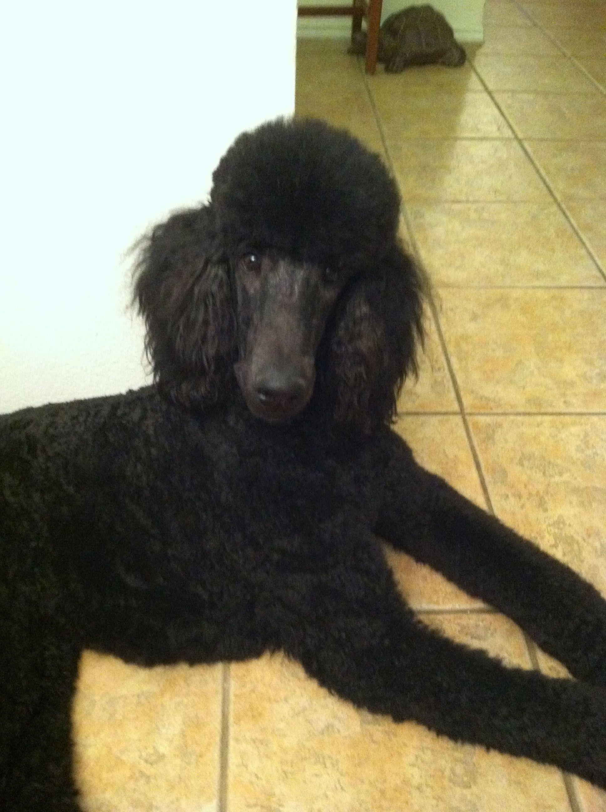 Loki Standard Poodle Standard Poodle Haircuts Standard Poodle