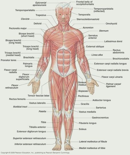 Front Of Body Muscles Muscles Anatomy Massagetherapy