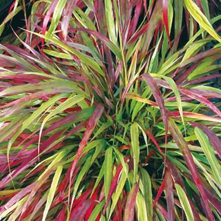 Red wind ornamental grass plant it pinterest red for Red landscaping grass