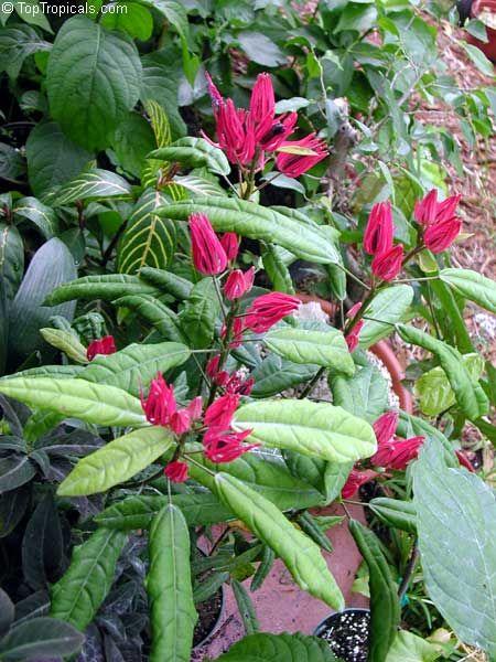 Triplochlamys | Pavonia multiflora, Triplochlamys multifora, Pavonia x Gledhillii ...