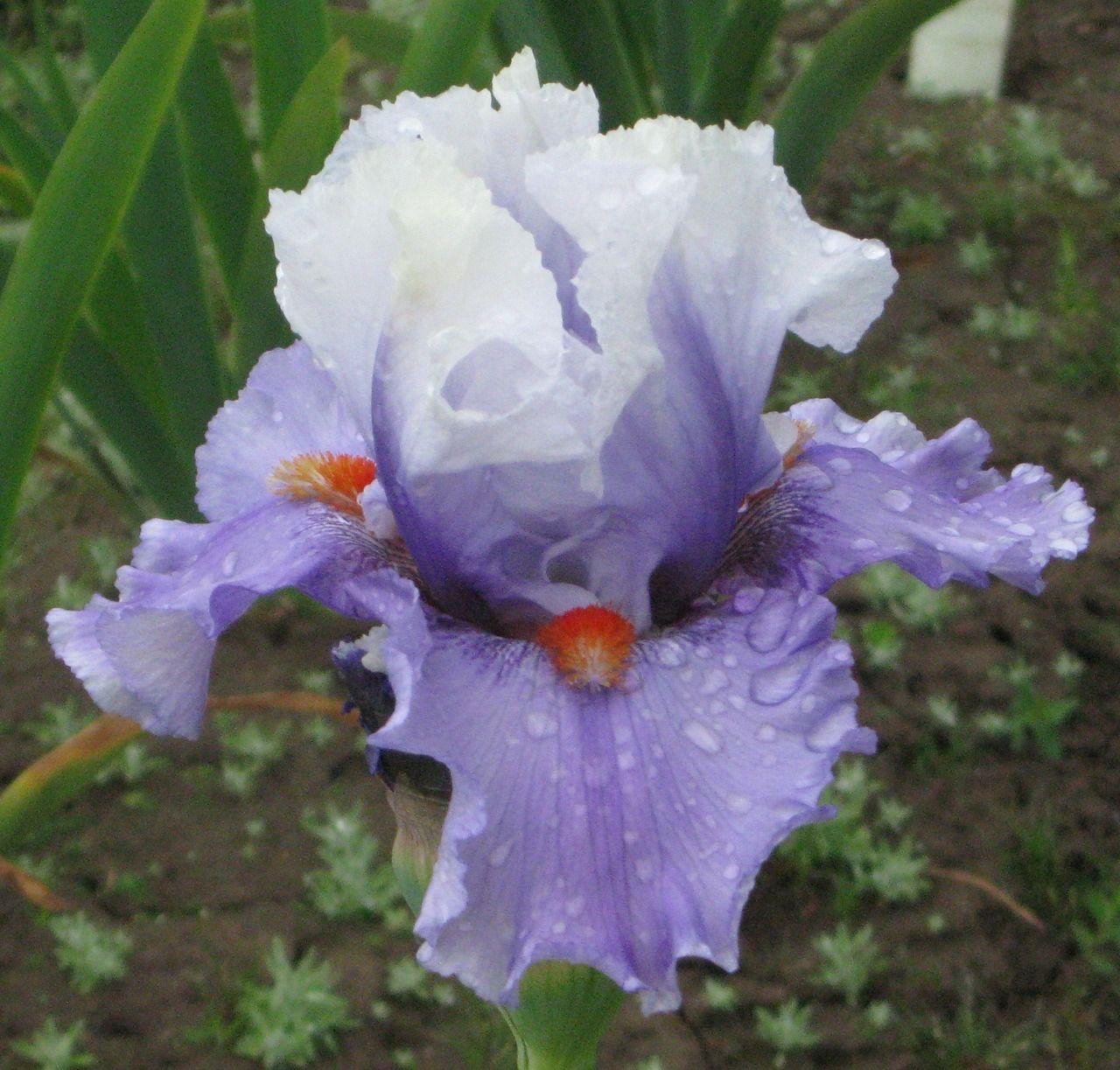 Alpine Butterfly - Iris Sisters Farm
