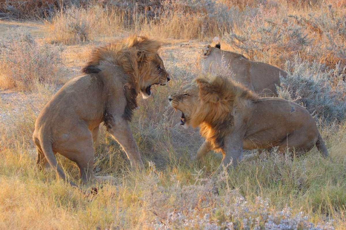 Lions fighting by Glen Valentine Lion, Big cats, Namib