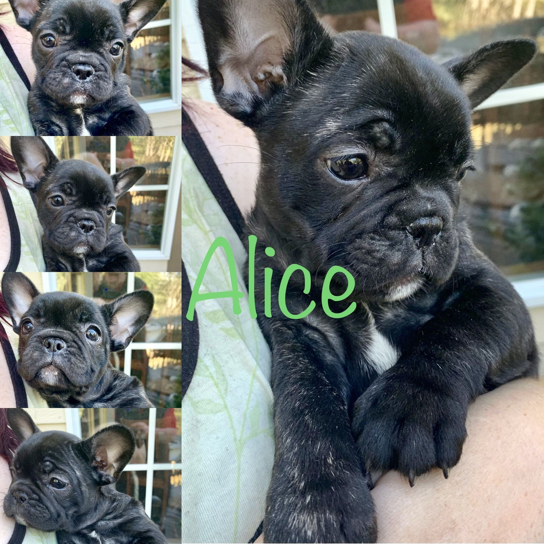 Puppies available now French bulldog, Frenchie bulldog