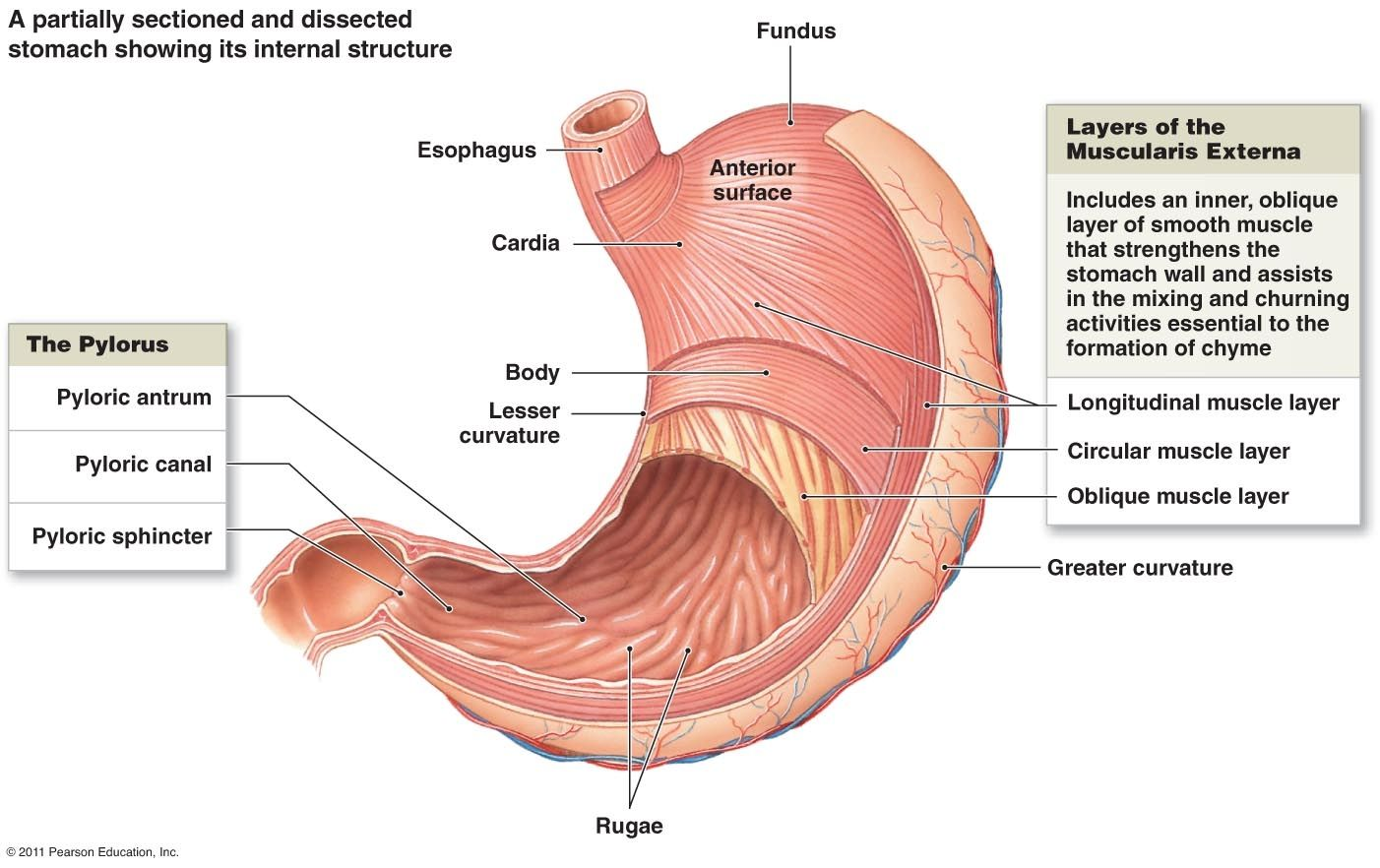 Gi Tract Anatomy Layer Diagram - Online Schematic Diagram •