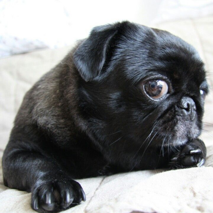 Whatchu Talkin Bout Willis Cute Pugs Pugs Wrinkly Dog