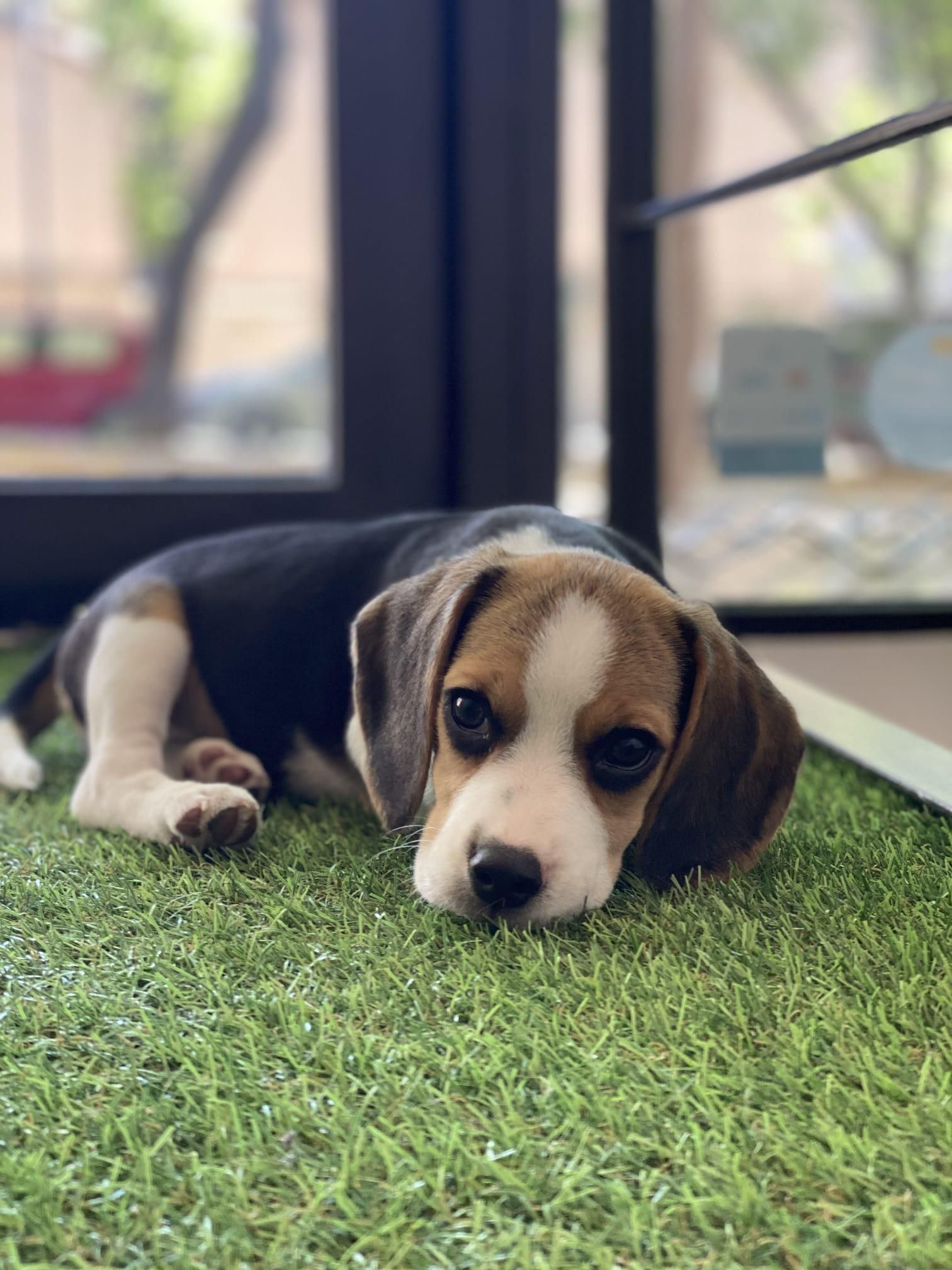 Meet Wifi Our First Dog Ever The Most Adorable Beagle Pup Ever 3 In 2020 Beagle Mix Beagle Puppy Cute Beagles