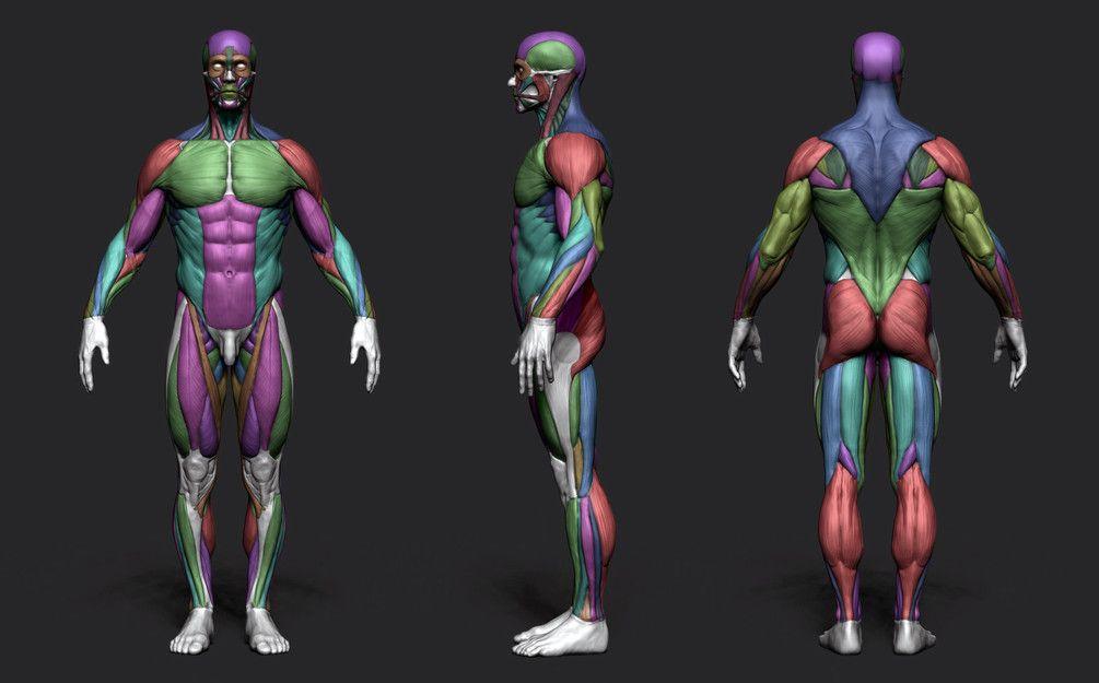 Pin by Giulia Marchetti on Male Anatomy   Pinterest   Anatomy ...