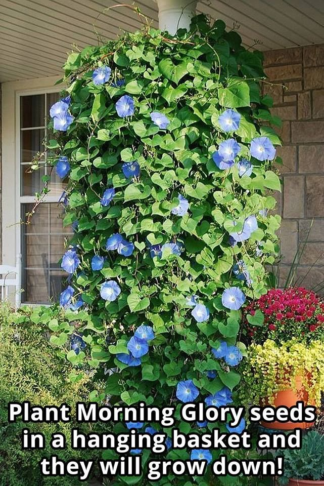 Pin By Angie Perrine On 5 Tuts M Mini Florals Plants Morning Glory Flowers Planting Flowers