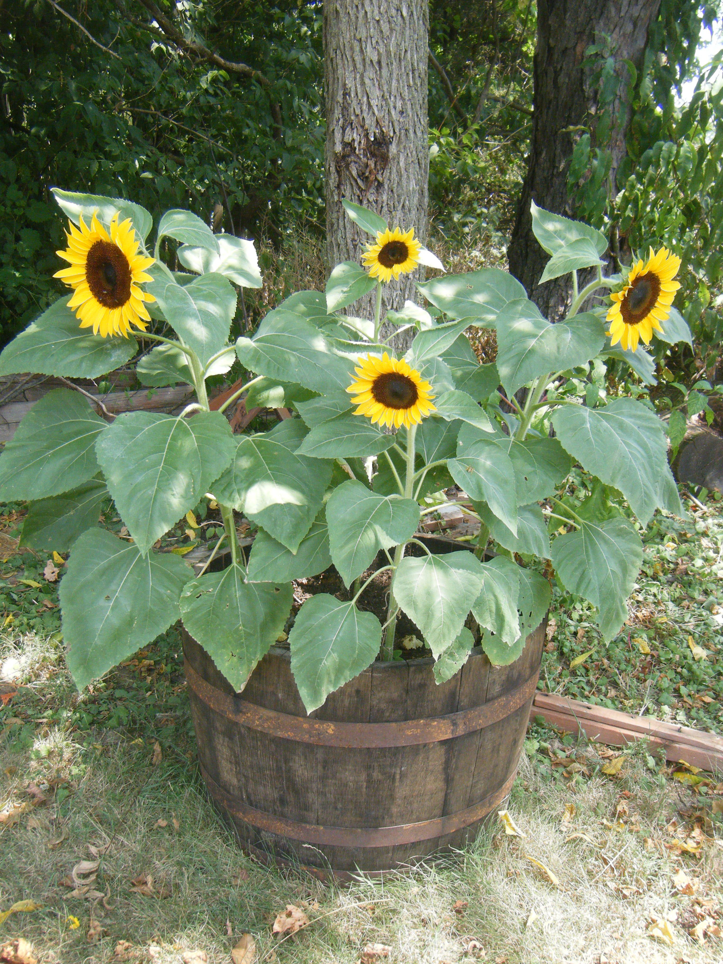 Dwarf Sunflowers I Am In Love Planted These Three Diffe Types Of Pots Small Singular Pot Larger Plastic And One My Burlap Bag