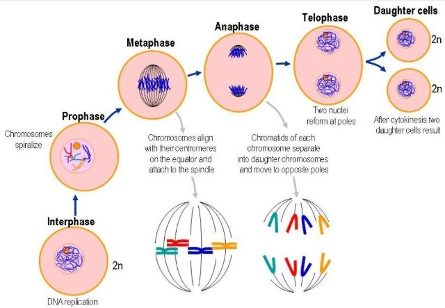 Mitosis Must Undergo Six Phases In Order To Procreate The Two Daughter Cells Interphase Prophase Metaphase Anaphase T Mitosis Biology Facts Daughter Cells