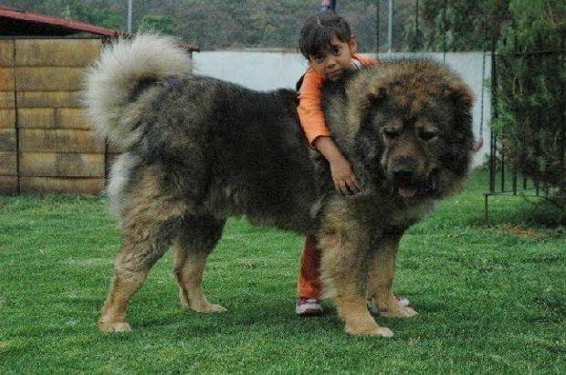 Raças raras: Pastor caucasiano Estes são encontrados principalmente na Rússia, e… | Raças raras, Cão e gato, Cão pastor