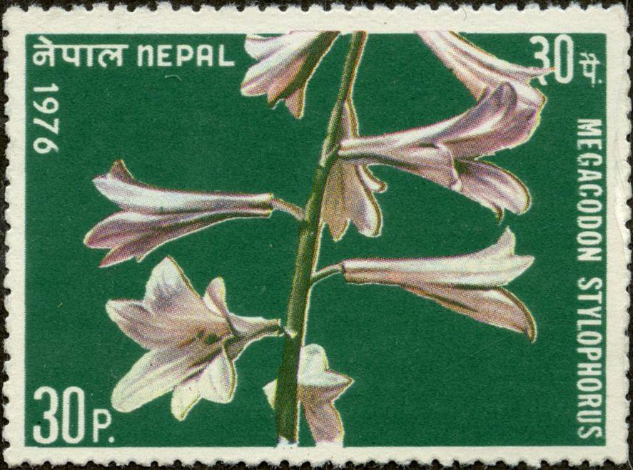 Megacodon stylophorus NEPAL 1976