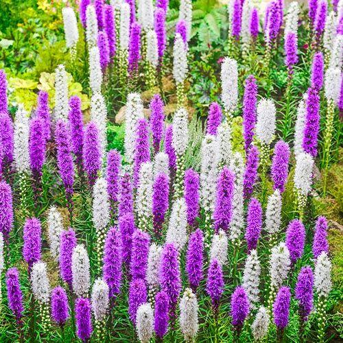 Buy Blazing Star Mixture Liatris Breck S Flowers Perennials Perennials Blazing Star Flower