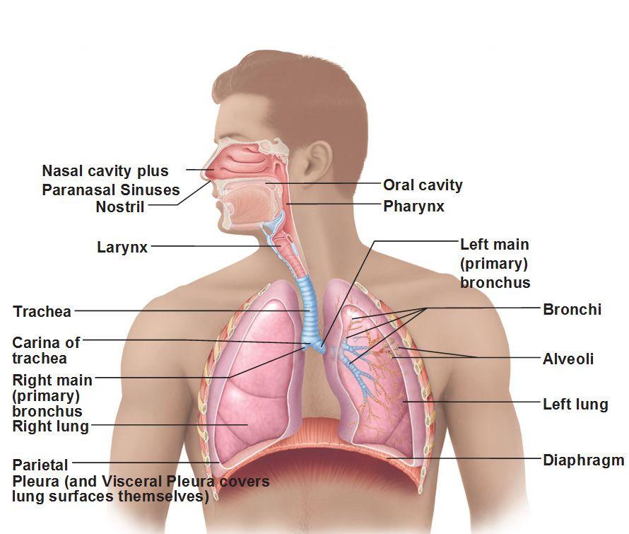 Organs Of The Respiratory System Larynx Bronchi Alveoli Diaphragm