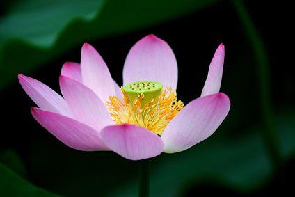 Health Benefits Of Lotus Tea Health Pinterest Health Benefits