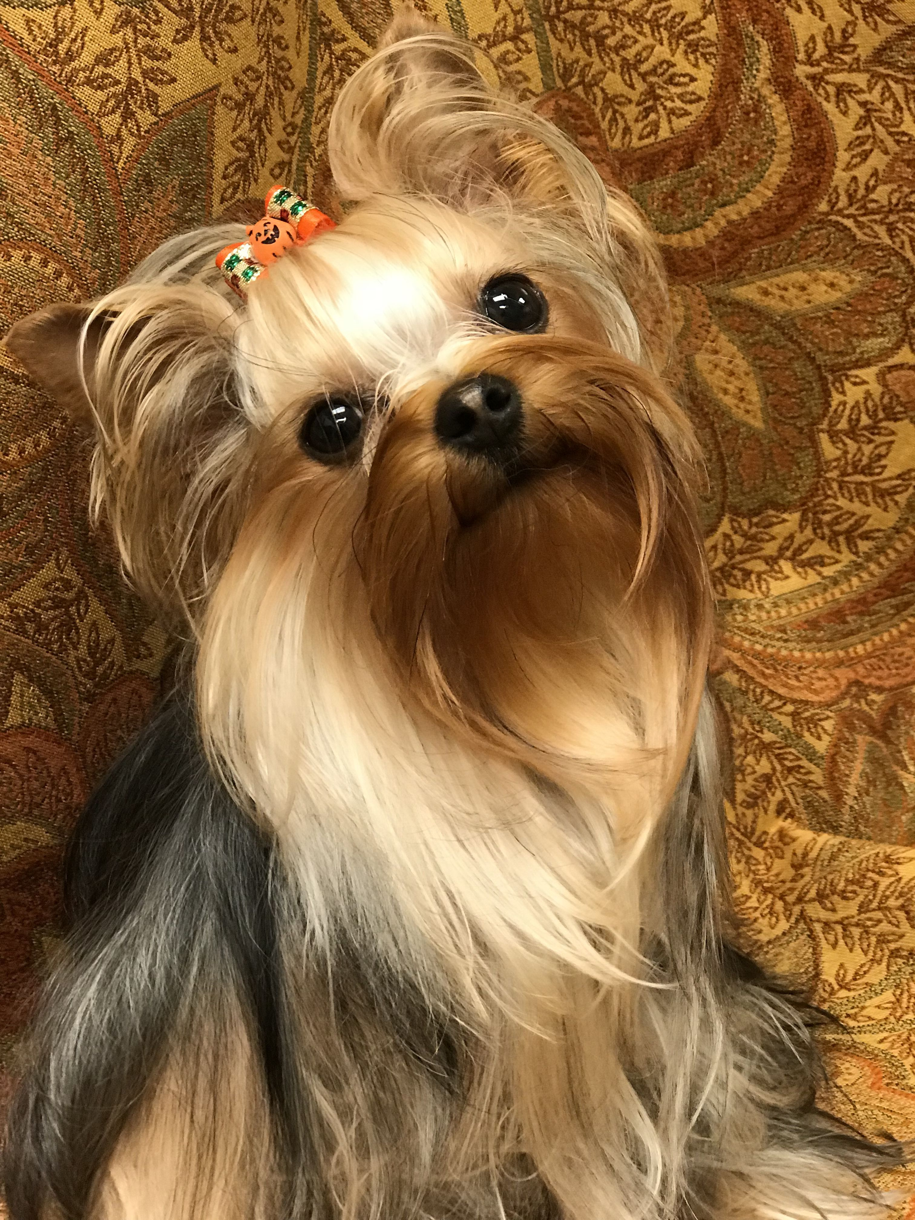 Coco Radford Yorkshire Terriers 540 986 1604 Yorkshireterrier Yorkshire Terrier Teacup Yorkshire Terrier Dog Yorkshire Terrier