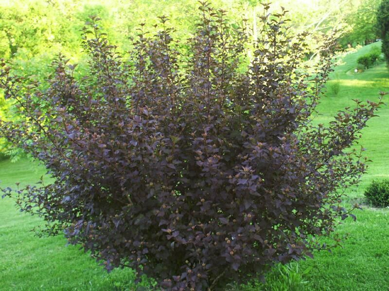 full size of purple ninebark