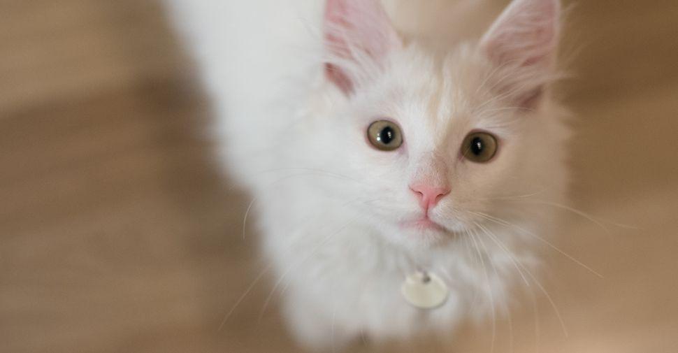 Meet The White Cat Breeds White Cat Breeds Kitten Adoption Cat