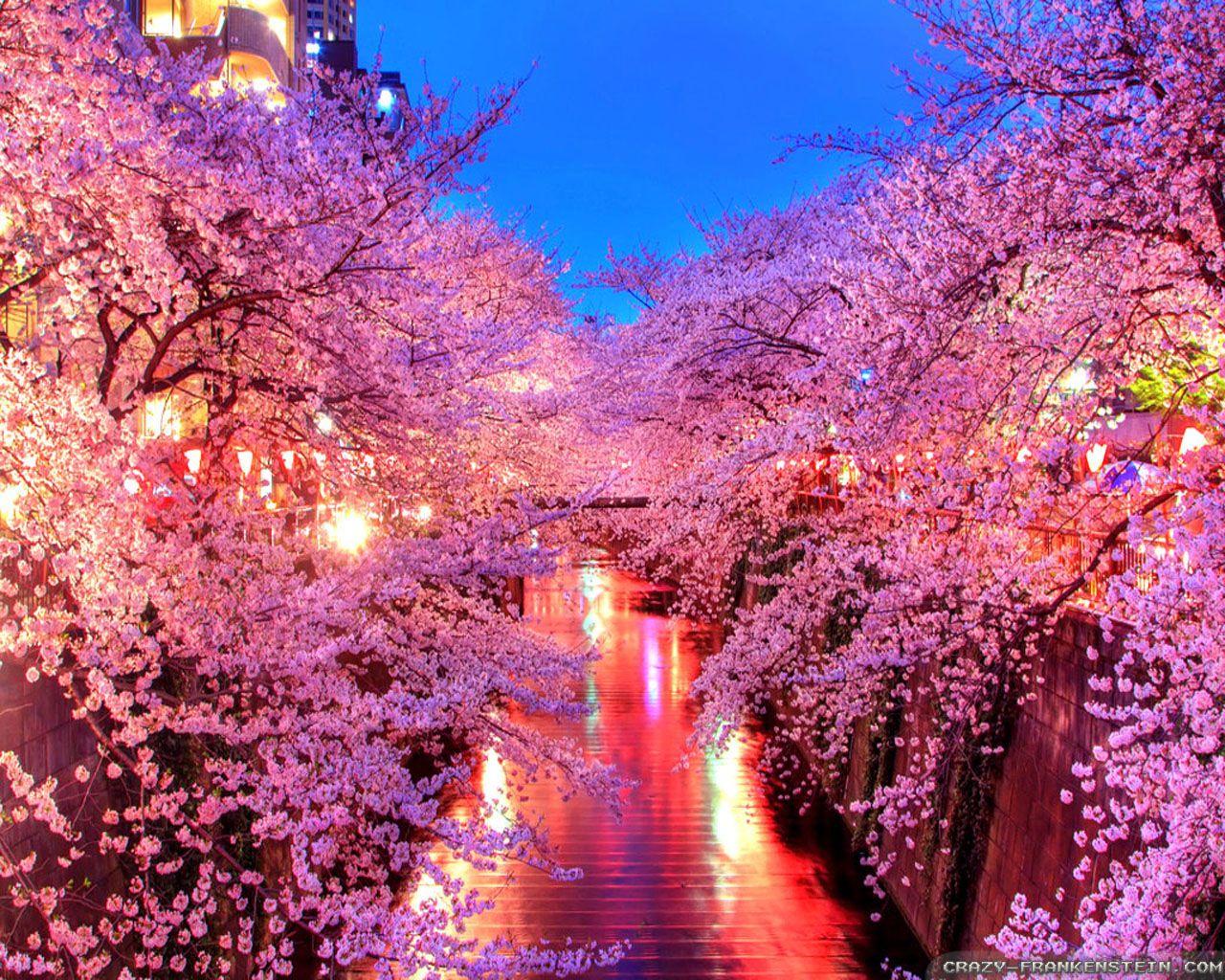 Japanese Sakura At Night Duvar Kagitlari Duvar