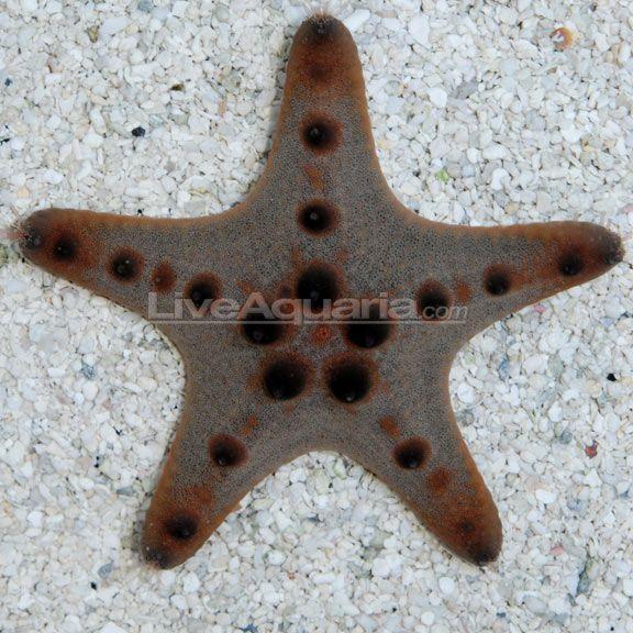 Chocolate Chip Sea Star Protoreaster Nodosus Sea Star Saltwater Aquarium Aquarium Fish