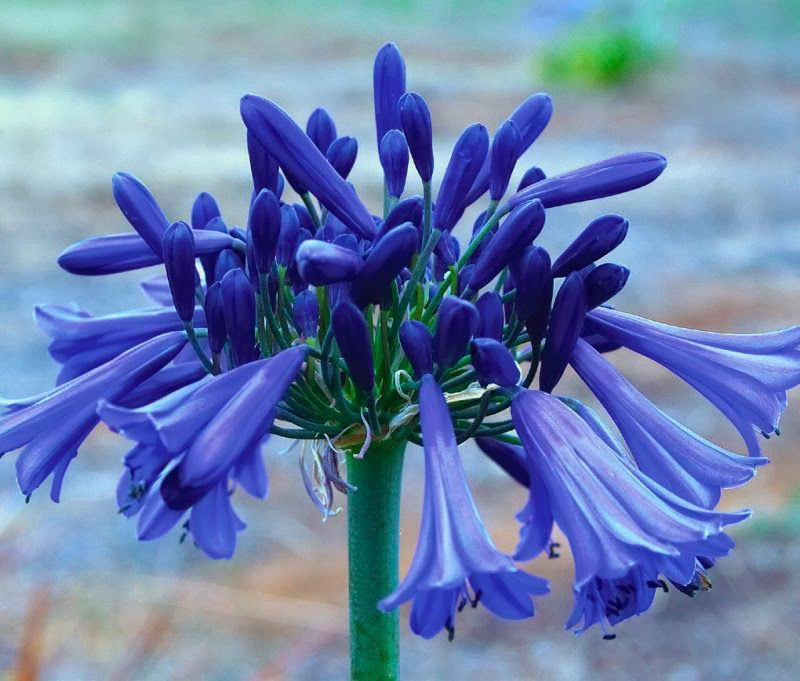 Garden And Farms Agapanthus Purple Cloud Agapanthus Botanical Flowers Trees To Plant