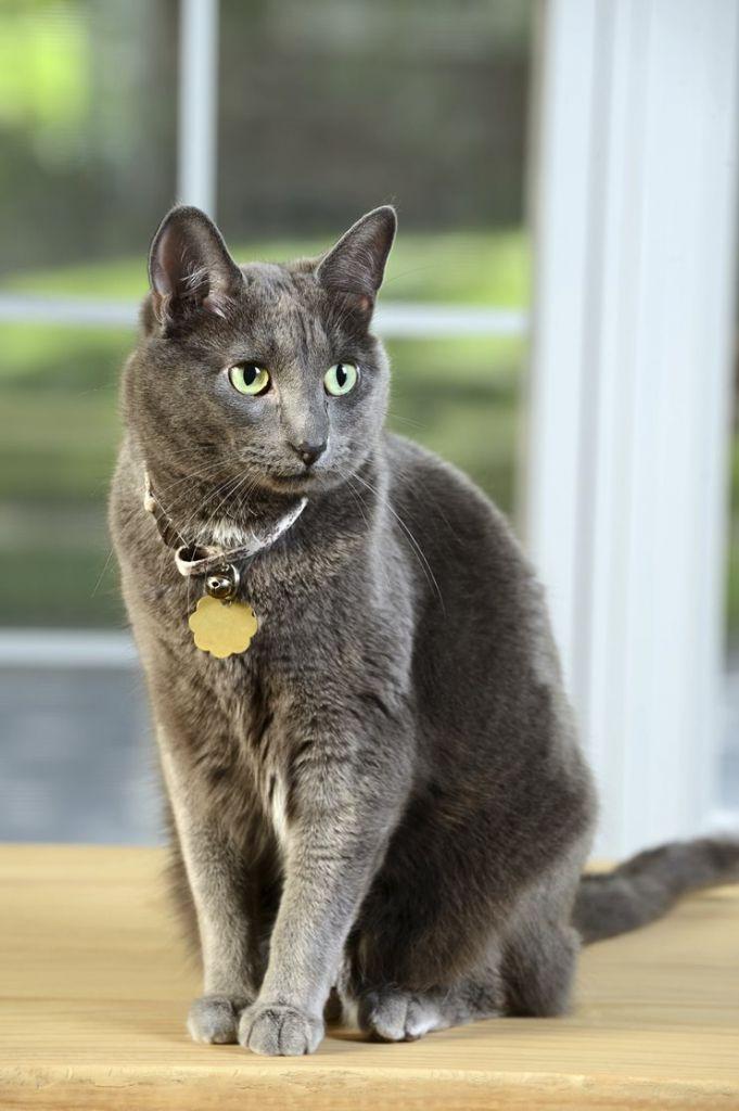 20 Of The Most Expensive Cat Breeds In The World Korat Cat Cat Breeds Korat