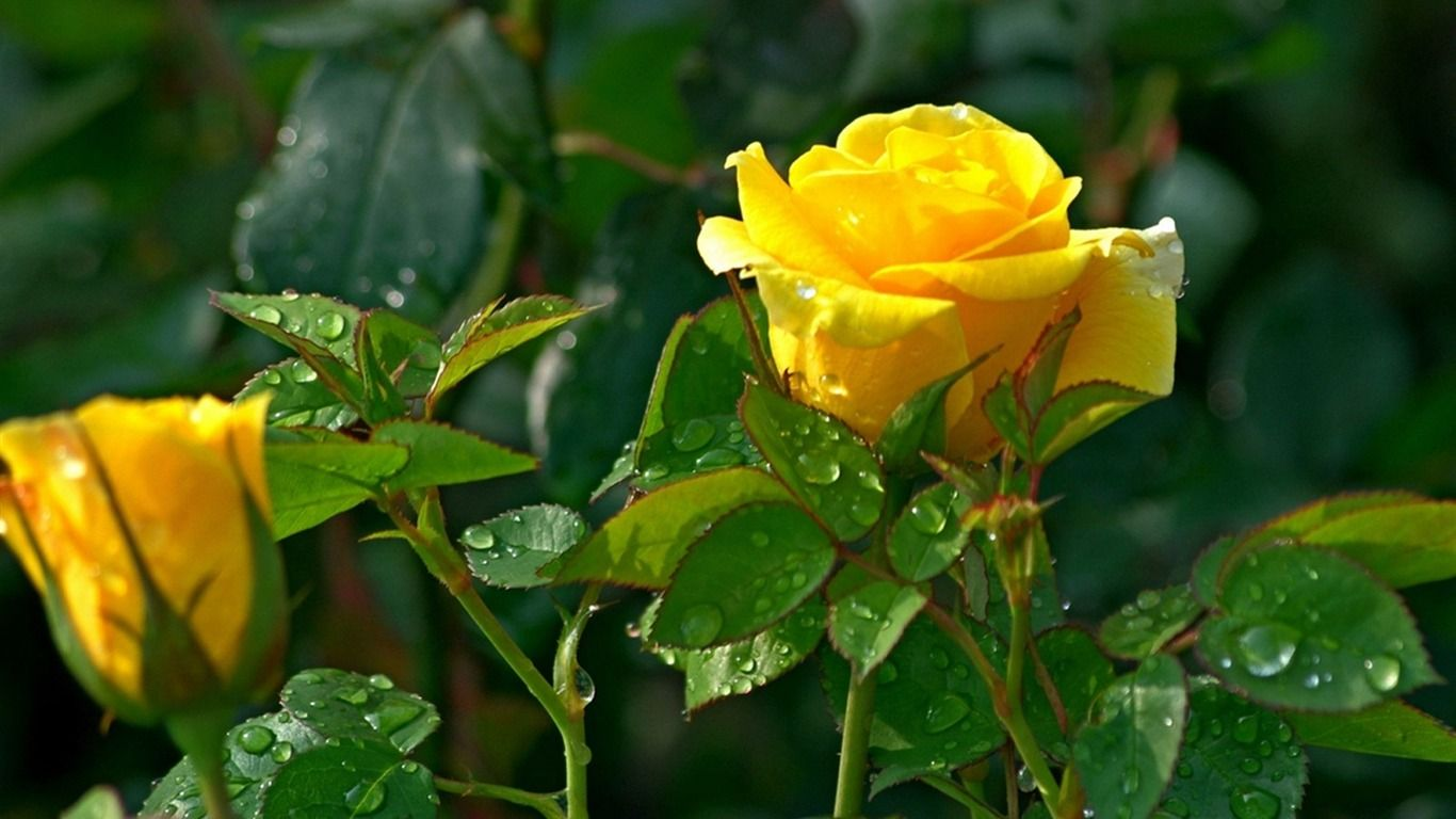 Nice yellow roses wallpapers hd images for desktop and android 1600 nice yellow roses wallpapers hd images for desktop and android 16001200 yellow rose image mightylinksfo
