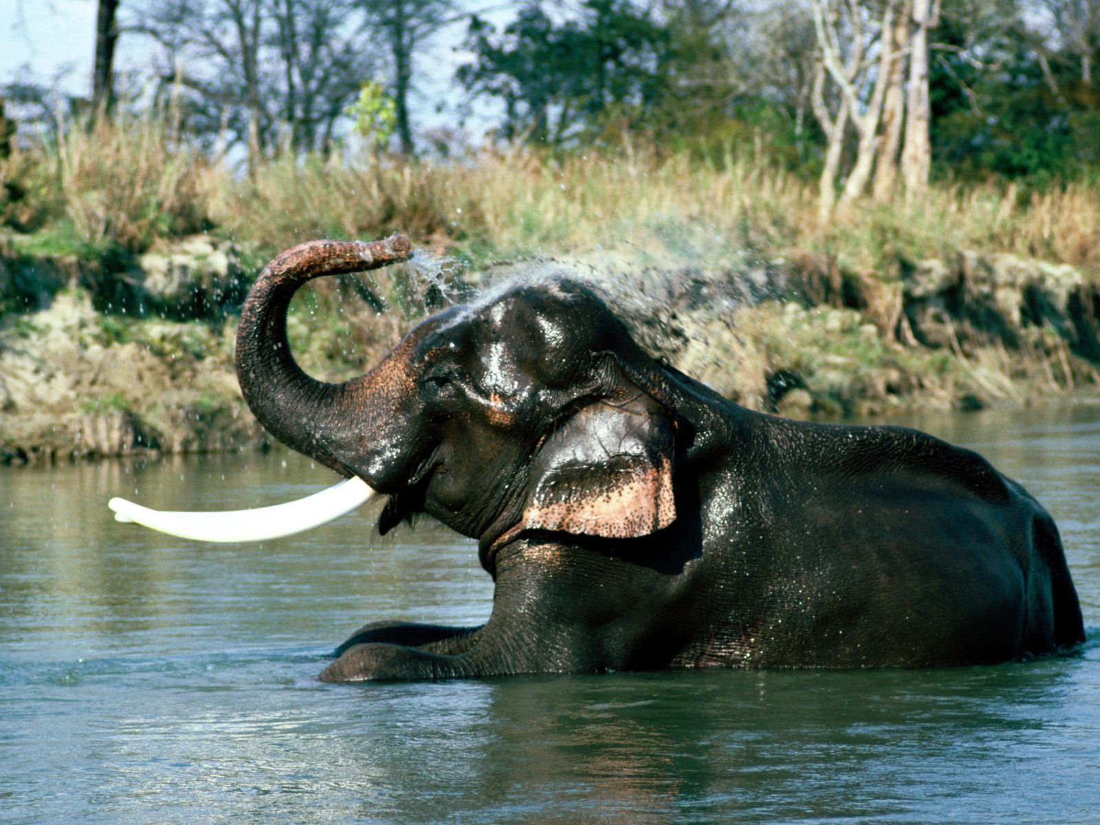 Wallpaper download elephant - Images Of Elephants Indian Elephants High Quality Wallpapers Free Download
