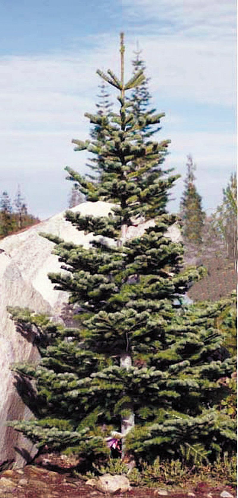 The Silvertip Fir Has Strong Horizontal Branches That Can Showcase Ornament Silvertip Christmas Tree Cool Christmas Trees Fir Christmas Tree