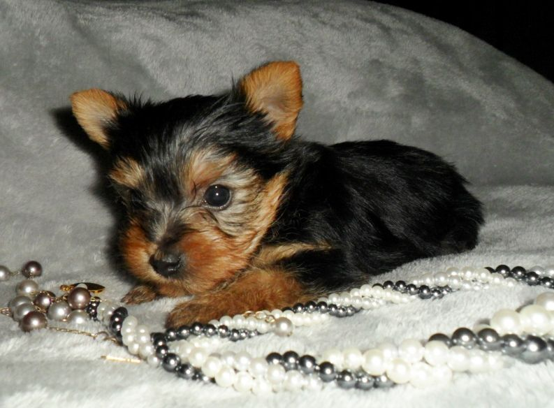 Dogs Teacup Female Yorkie Puppy Yorkie Puppy Yorkie Puppies