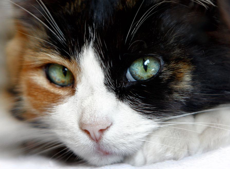 Why Male Calico Cats Are So Rare Close Up Of Calico Cat With