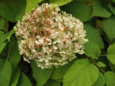 Hydrangea Diseases Leaves Want To Be Able Indentify Plants With Your Mobile Phone Check Out Gardenanswers