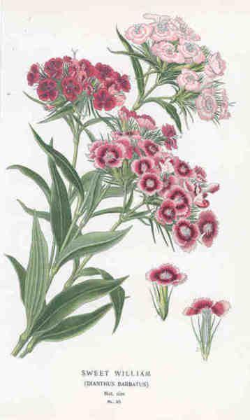 Sweet William Dianthus Barbatus Botanical Illustration Watercolor Botanical Drawings Flower Illustration