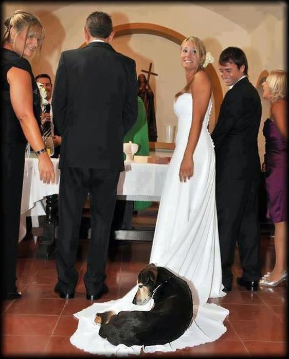 Dog Sleeps on Wedding Dress Train Photobomb (With images) | Dogs ...