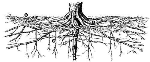 Sumac Roots Drawing Google Search Soil Texture Tree Roots Roots Drawing