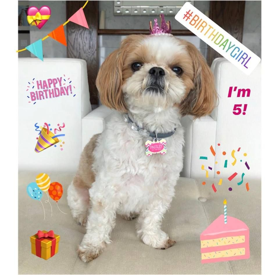Gold And White Shih Tzu From Glory