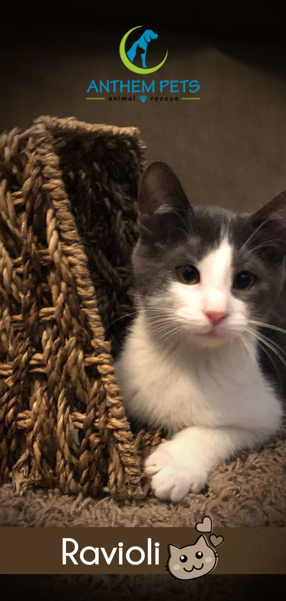 Time To Make Ravioli A Part Of Your Family This Boy Is A Short Hair Mix And Has Beautiful Markings His Adoption Fee I In 2020 Pet Names Cat Adoption Cats
