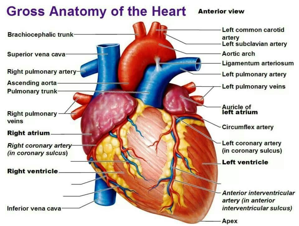 Gross Anatomy Of The Heart Med School Pinterest Heart Anatomy