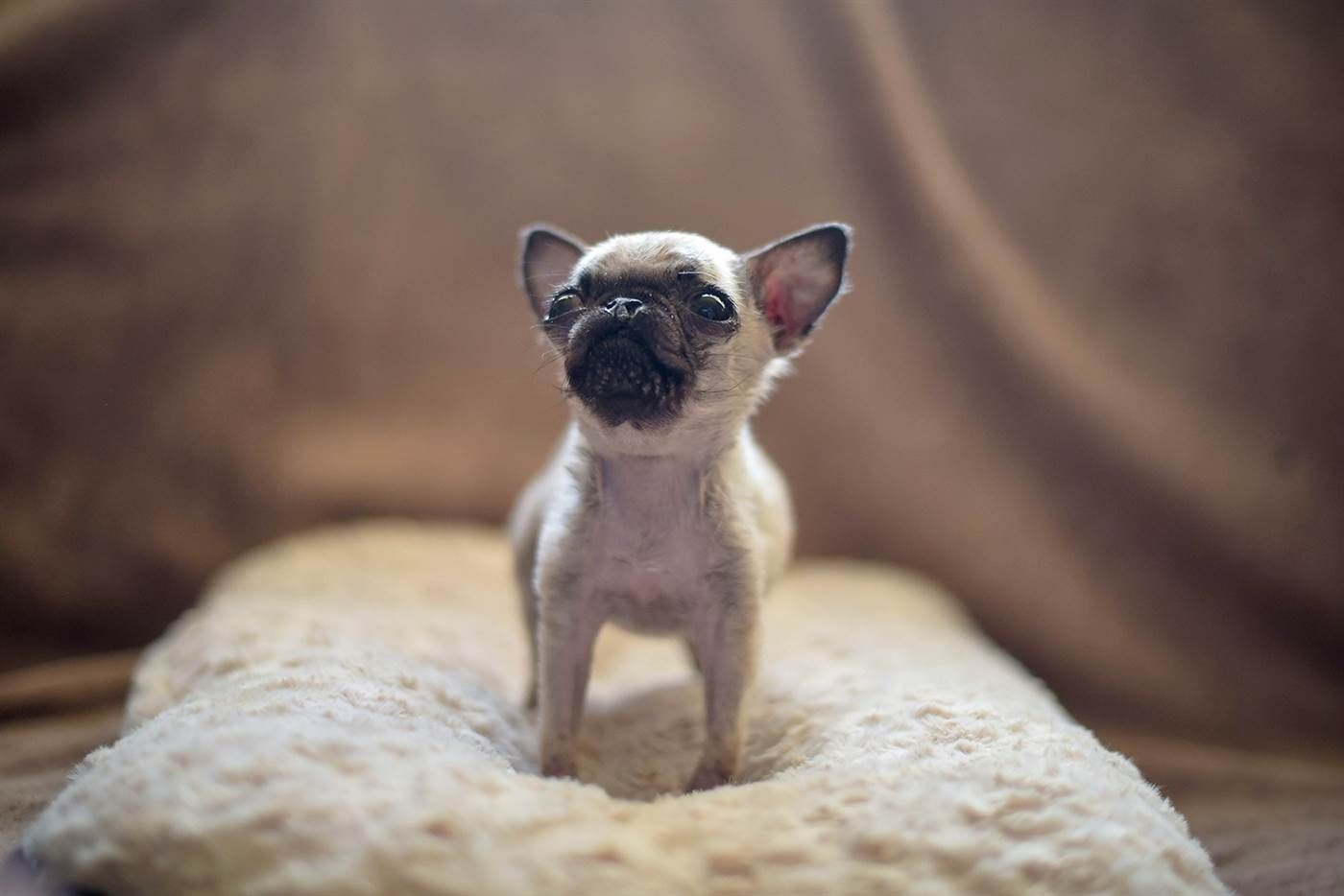 World S Smallest Pug Check Out How Tiny She Is Small Pug Tiny Dogs Pugs