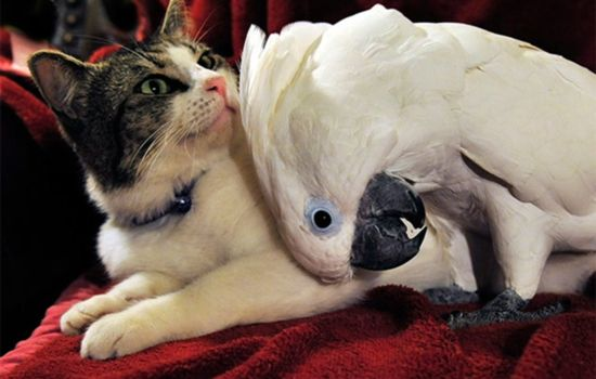 O gatinho se dá bem com a cracatua