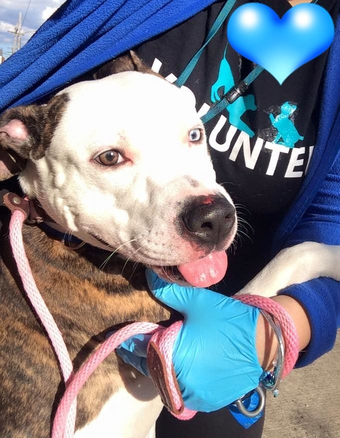 Brooklyn Center BLUE – A1065931  MALE, WHITE / BR BRINDLE, AM PIT BULL TER MIX, 2 yrs OWNER SUR – EVALUATE, NO HOLD Reason MOVE2PRIVA Intake condition EXAM REQ Intake Date 02/24/2016 http://nycdogs.urgentpodr.org/blue-a1065931/