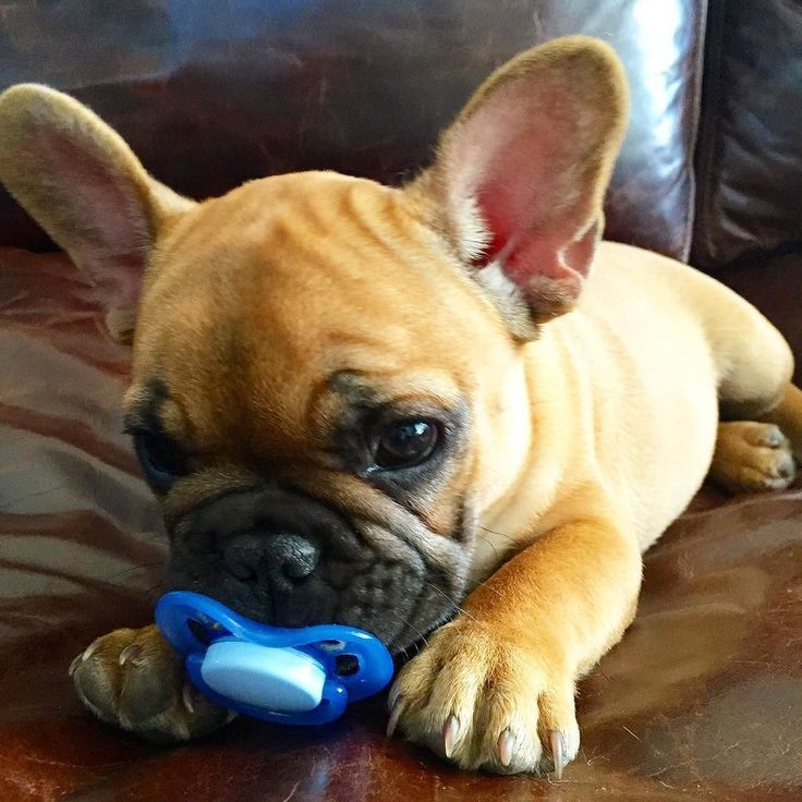 Check Out This Sweet Little French Bulldog Puppy With His Pacifier Www Bullymake Com French Bulldog Puppies Bulldog Puppies Bulldog