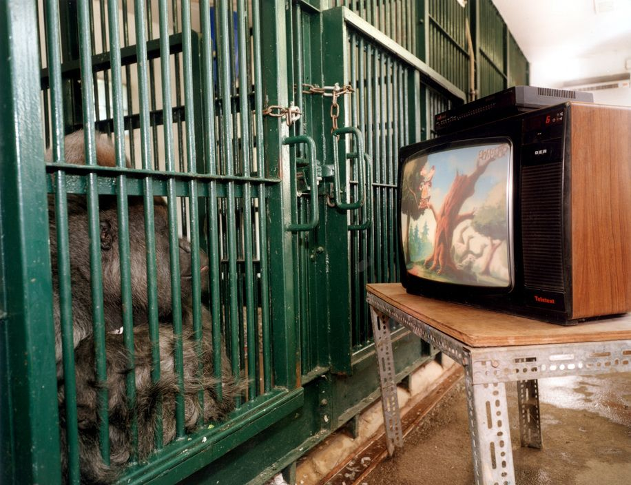 Martin Parr - The gorillas watch cartoons from their cage. 1998.