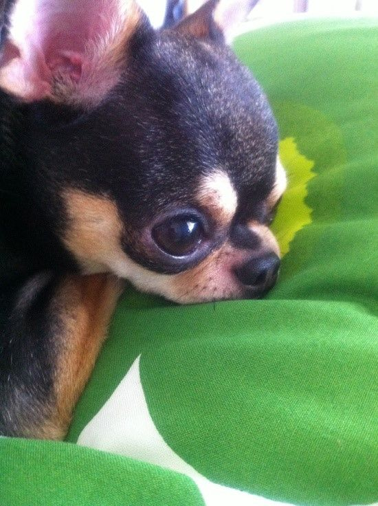 .My Chihuahua used to look like this!!! He is still so cute.                                                                                                                                                                                 More