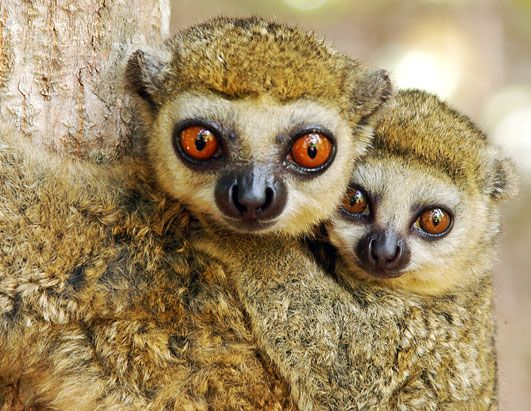 Wooly Lemur Babies. | Animals are People, Too | Pinterest | Facts ...
