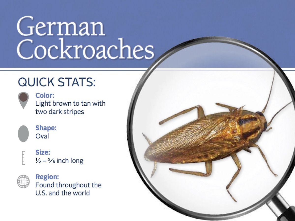 German cockroaches 10 key facts to remember german