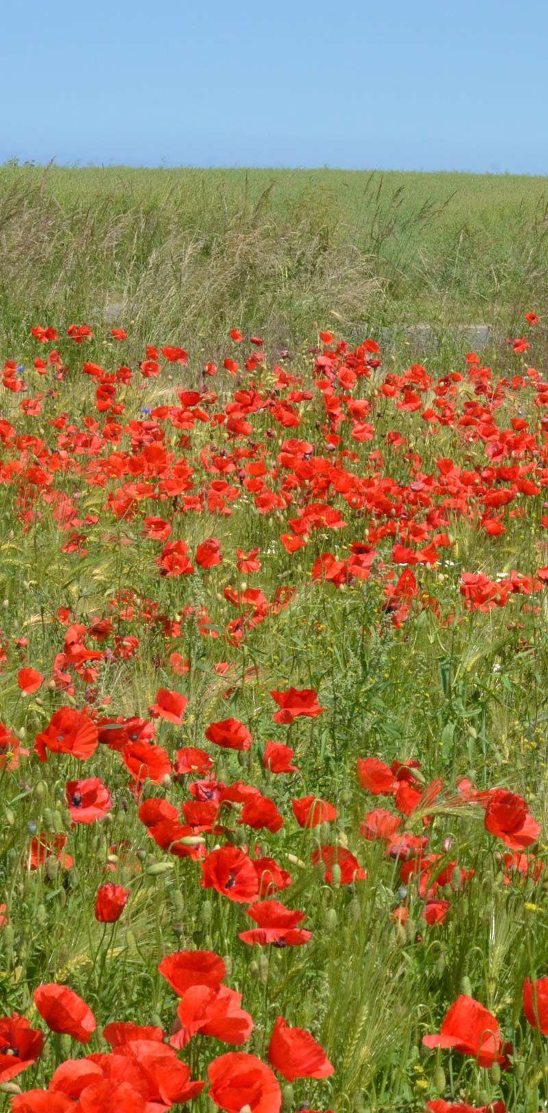 Mohnblumen Auf Feld Bei Wolgast Mohnblume Blumen Mohn