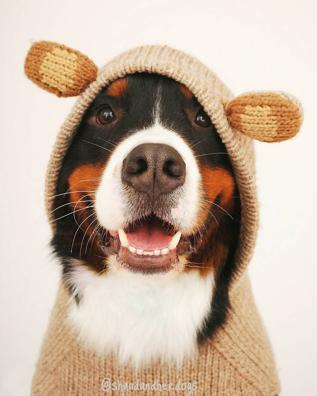 Bernese Mountain Dog Or Adorable Teddy Bear She And Her Dogs