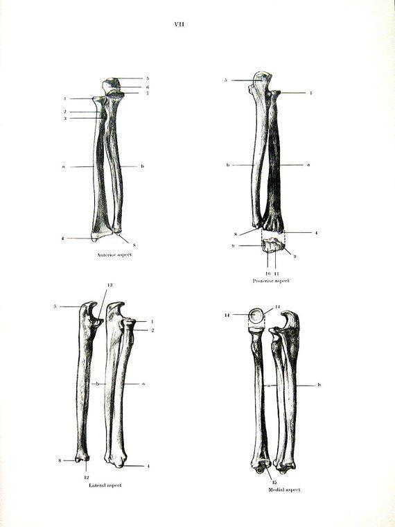 Forearm Bones Human Anatomy 1975 Vintage Anatomy Print 12 X 9