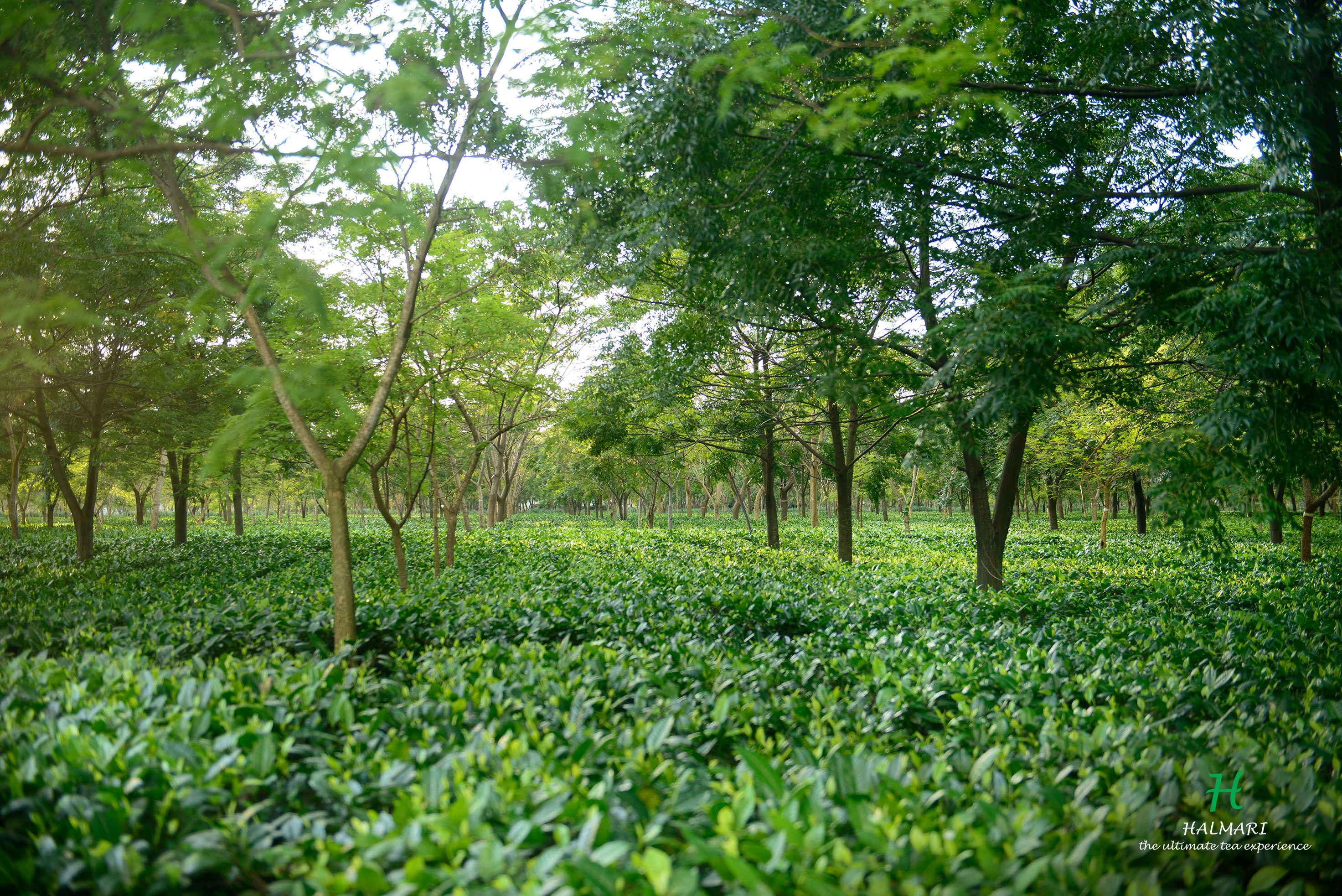 India S Best Tea Factory In Assam Best Tea Tea Plants